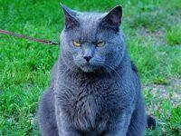 fat gray cat