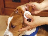 cleaning out excess gunk from dog ear