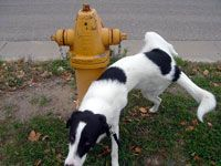 dog peeing on hydrant