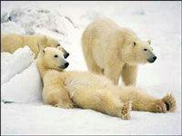 lazy polar bears