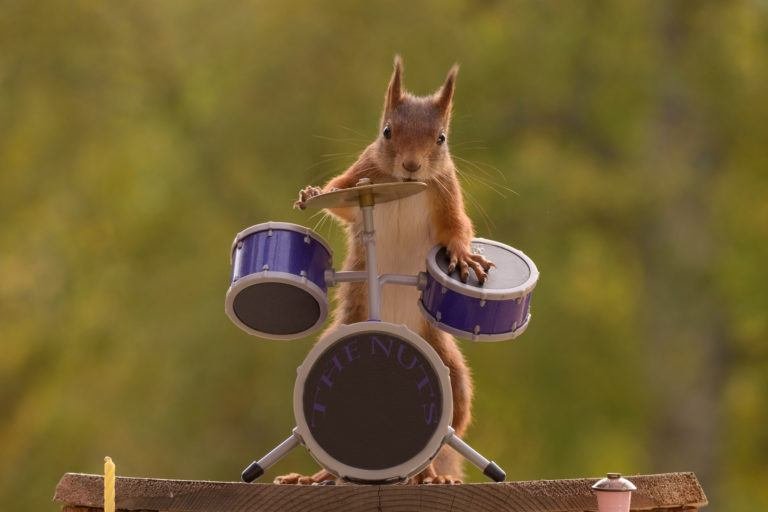 A squirrel playing a tiny drum set.