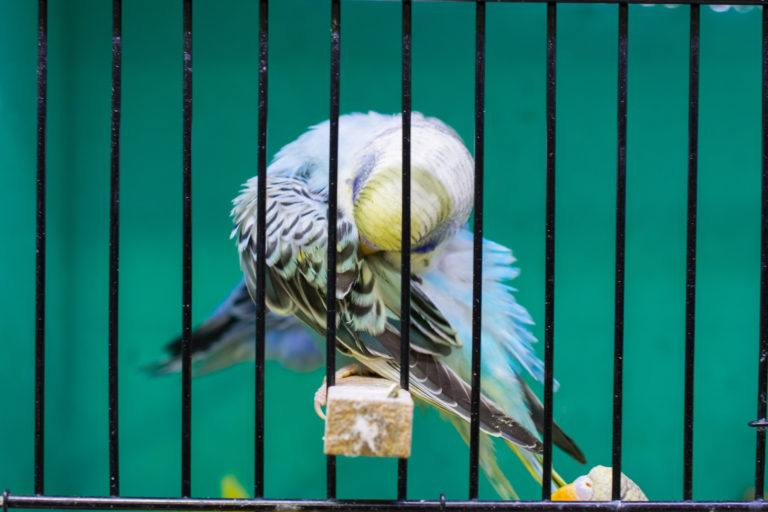 A parakeet in a cage grooms its feathers.