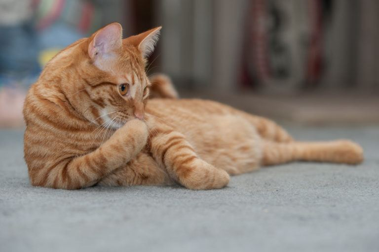 An orange tabby cat laying on a floor.