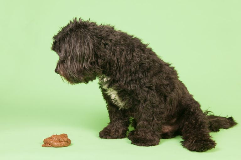 A poodle mix dog looking at a pile of dog poop.
