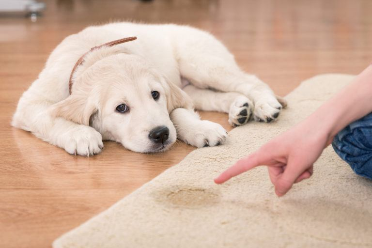 A golden retriever puppy laying next to a urine stain on a carpet rug looks forlorn as its owner points to the stain.